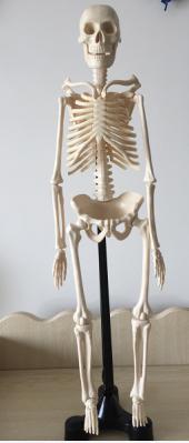 迷你人体骨骼